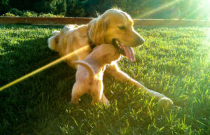 Golden Retriever mit Welpe