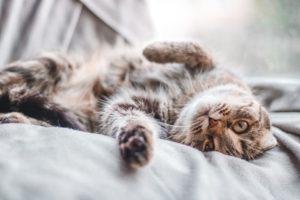 Katze mit Flöhen