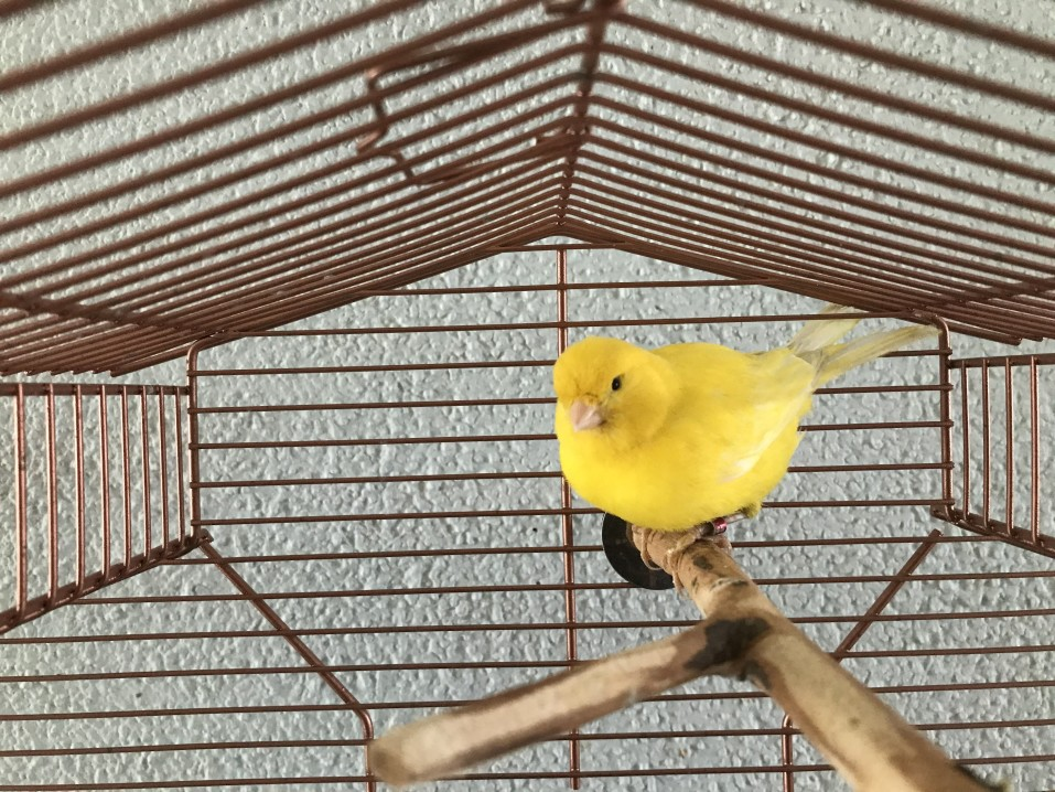 Einsamer Kanarienvogel ohne Spielzeug