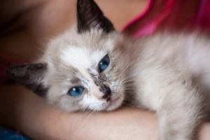 Katze hatte Hyphäma