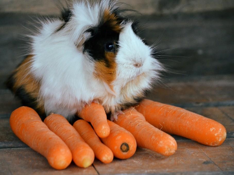 Meerschweinchen sitzt auf Karotten