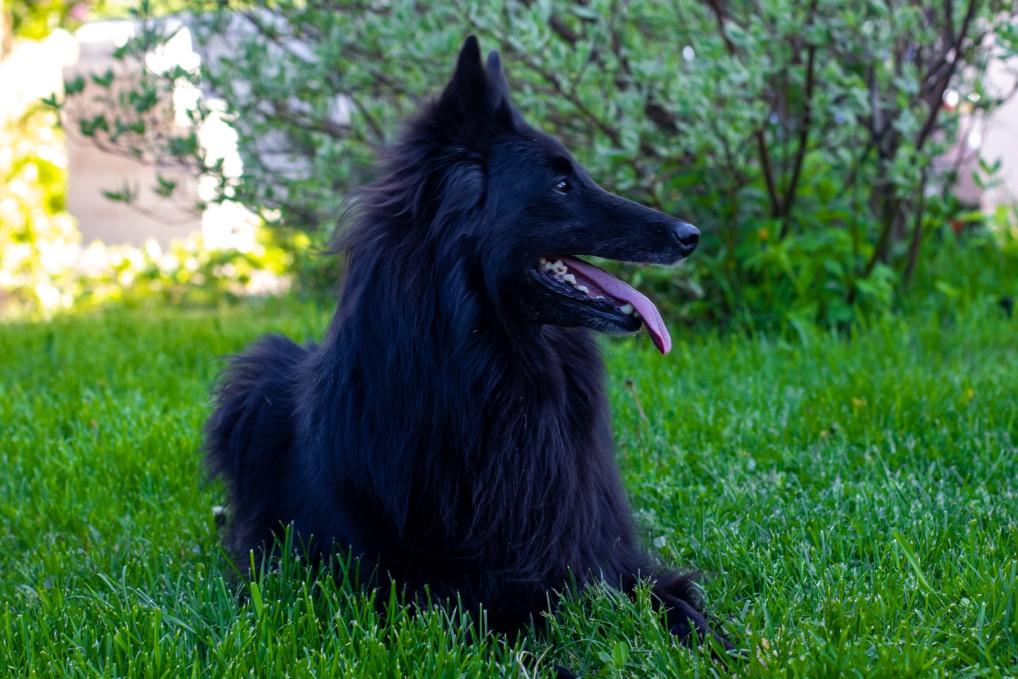 hübscher belgischer Schäferhund